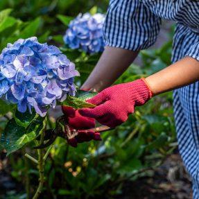 Comment et quand tailler les hortensias ?